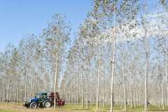 Poplar grove and tractor Royalty Free Stock Photos