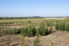 Poplar groves Stock Image