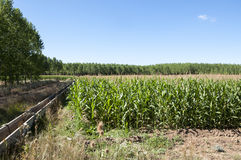 Poplar groves and cornfields Stock Image