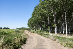 Poplar groves and cornfields Royalty Free Stock Photo