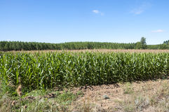 Poplar groves and cornfields Stock Photography