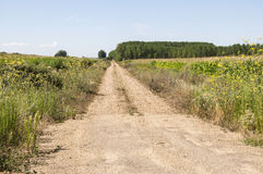 Poplar groves and cornfields Royalty Free Stock Photos