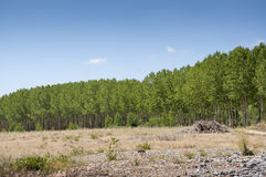 Poplar groves Stock Photo