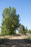 Poplar groves in the plain of the River Esla Royalty Free Stock Photo