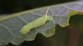 Poplar hawk moth caterpillar, Laothoe populim moving around on a weeping willow leaf. stock video footage