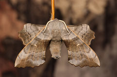 Poplar Hawk-moth close-up Stock Photos