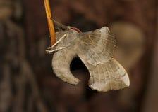 Poplar Hawk-moth close-up of underside Royalty Free Stock Photography