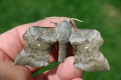 Poplar hawk moth on hand Royalty Free Stock Photography