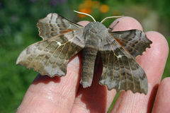 Poplar hawk moth on hand Stock Photography