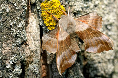 Poplar Hawk-moth II Stock Photos