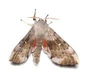 Poplar hawk-moth (Laothoe populi) Royalty Free Stock Photography