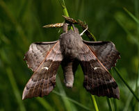 The poplar hawk-moth Royalty Free Stock Images