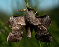 The poplar hawk-moth Stock Photos