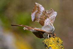 Poplar Hawk-moth Stock Photography