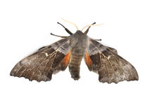 Poplar hawk-moth Stock Photos