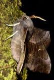 Poplar hawk-moth (Laothoe populi) in profile Royalty Free Stock Photos