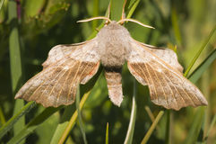 Poplar Hawk-Moth Royalty Free Stock Photo