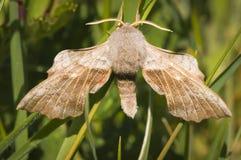 Poplar Hawk-Moth Royalty Free Stock Photo