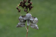 Poplar-hawk moth, Laothoe populi Royalty Free Stock Images