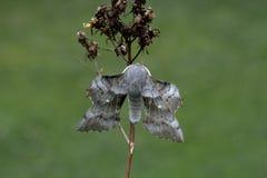 Poplar-hawk moth, Laothoe populi Royalty Free Stock Images