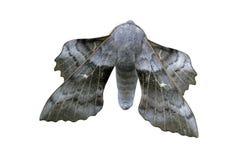 Poplar-hawk moth, Laothoe populi Royalty Free Stock Photo