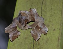 Poplar hawk-moths mating Stock Photography