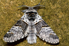 Poplar kitten moth (Furcula bifida). British nocturnal insect in the family Notodontidae, at rest royalty free stock images