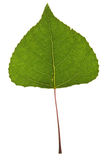 Poplar leaf Stock Images