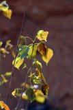 Poplar leaf Royalty Free Stock Photography