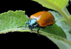 Poplar leaf beetle (Chrysomela populi) Stock Photos