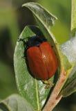 Poplar Leaf Beetle Stock Image