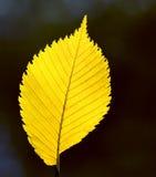 Poplar leaf on black background Royalty Free Stock Image