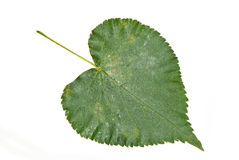 Poplar leaf Royalty Free Stock Photo