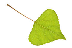 Poplar leaf on isolated Stock Images