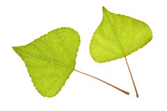 Poplar leaf on isolated Stock Photo