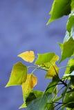 Poplar leaf Royalty Free Stock Image