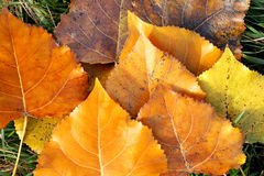 Poplar leaves. Autumn. Stock Photo