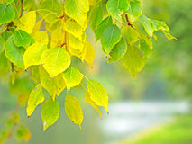 Poplar leaves in autumn Royalty Free Stock Photography