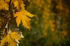 Poplar leaves in autumn,Hunza valley,Pakistan Stock Photo