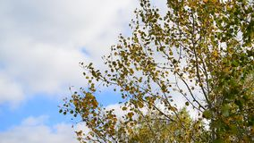 Poplar leaves in the autumn wind stock video footage