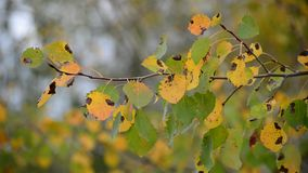 Poplar leaves in the autumn wind stock video