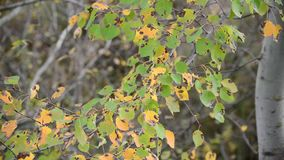 Poplar leaves in the autumn wind stock footage
