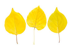 Poplar leaves Royalty Free Stock Photography