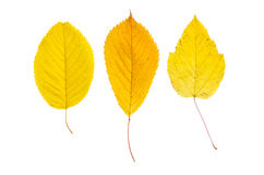 Poplar leaves Royalty Free Stock Images