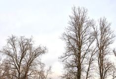 Poplar without leaves. Royalty Free Stock Photo