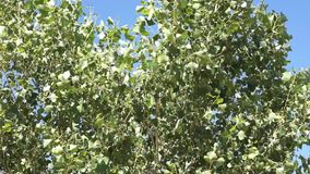 Poplar leaves shaken by strong wind, green leaves on and silvery, blue sky background stock footage