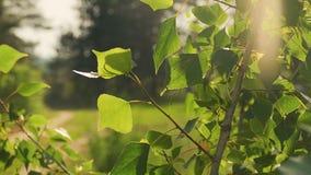 Poplar leaves under the sun slow motion video stock video