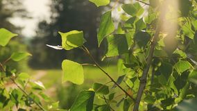 Poplar leaves under the sun slow motion video stock video footage