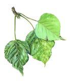 Poplar leaves Stock Photos