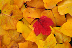 Poplar and maple leaves. Pattern of yellow poplar and red maple leaves in autumn Royalty Free Stock Photo